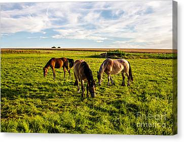 Horses In The Sunset Canvas Print by Bodo Herold