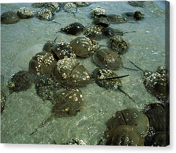 Horseshoe Crab Research Canvas Print by Volker Steger