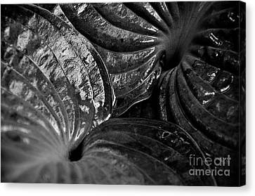 Hosta Leaves Canvas Print by Tanya  Searcy