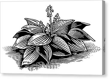 Hosta, Lino Print Canvas Print by Gary Hincks