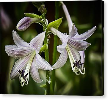 Hosta Makes Three Canvas Print by Michael Putnam
