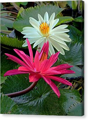 Canvas Print featuring the photograph Hot Pink And White Water Lillies by Larry Nieland