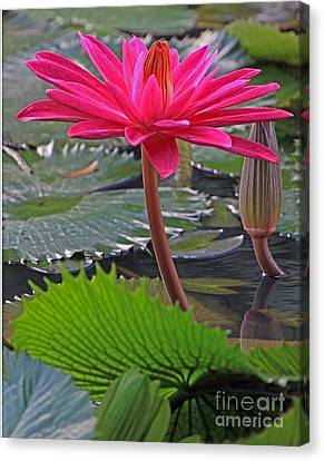 Canvas Print featuring the photograph Hot Pink Waterlily by Larry Nieland