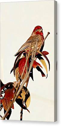 Canvas Print featuring the photograph House Finch Perch by Elizabeth Winter