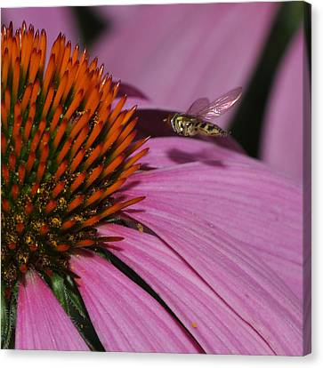 Hoverfly Hovering Over Cornflower Canvas Print