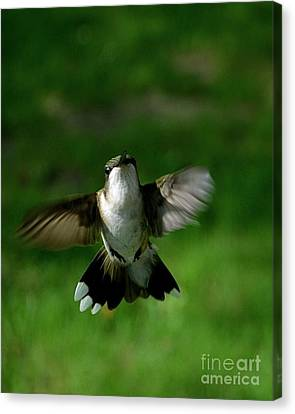Hovering Hummingbird  Canvas Print by Sue Stefanowicz