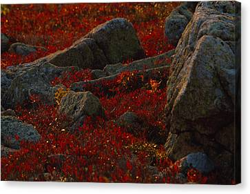 Huckleberry Bushes And Multi-hued Canvas Print by Michael Melford