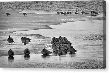 Canvas Print featuring the photograph Huddled Honkers by Kevin Munro