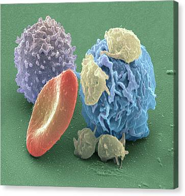 Human Blood Cells, Sem Canvas Print by Steve Gschmeissner