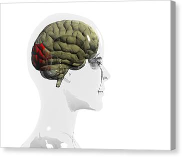 Human Brain, Occipital Lobe Canvas Print by Christian Darkin