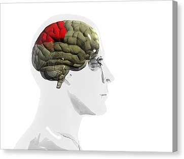 Human Brain, Parietal Lobe Canvas Print by Christian Darkin