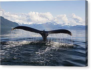 Humback Whale Diving With Tail Flukes Canvas Print by James Forte