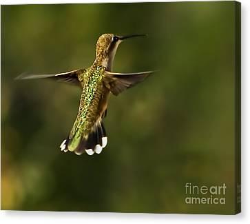 Male Hummingbird Canvas Print - Hummer by Robert Bales