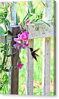 Humming Bird And Sweet Pea Canvas Print