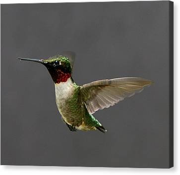 Canvas Print featuring the photograph Hummingbird 1 by John Crothers