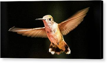 Hummingbird  Canvas Print by Albert Seger