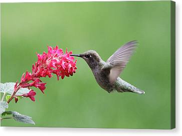 Flowerrs Canvas Print - Hummingbird And Currant by Angie Vogel