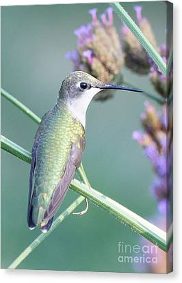 Hummingbird At Rest Canvas Print by Robert E Alter Reflections of Infinity