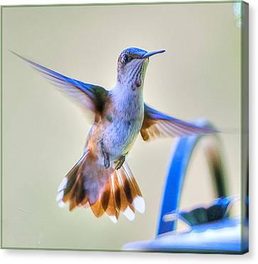 Hummingbird At The Feeder Canvas Print by Shirley Tinkham