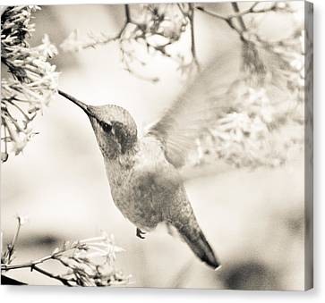 Canvas Print featuring the photograph Hummingbird At The Valerian by Ronda Broatch
