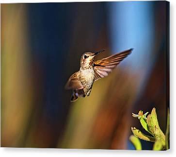 Hummingbird Canvas Print