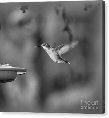 Hummingbird  Black And White Canvas Print by Donna Brown