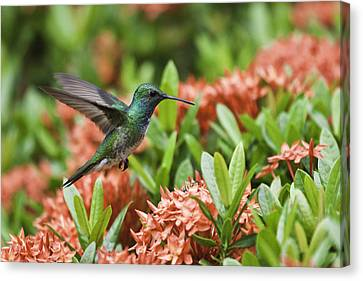 Hummingbird Flying Over Red Flowers Canvas Print by Craig Lapsley