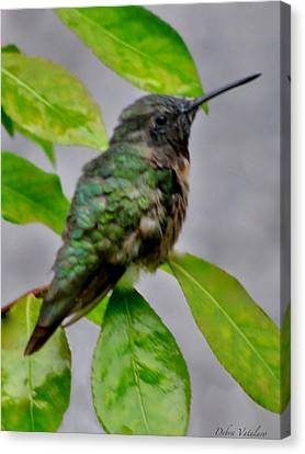 Hummingbird Gem 4 Canvas Print by Debra     Vatalaro
