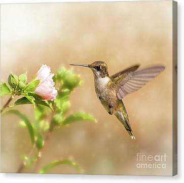 Hummingbird Hovering Canvas Print by Sari ONeal