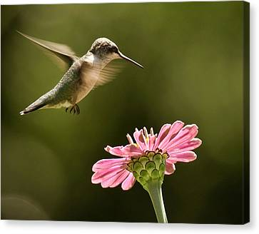 Flying Animals Canvas Print - Hummingbird by Jody Trappe Photography