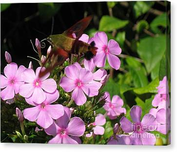 Canvas Print featuring the photograph Hummingbird Moth  by Nancy Patterson