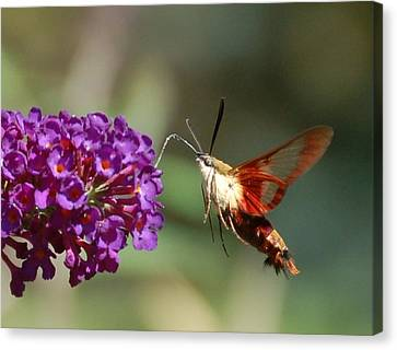 Hummingbird Moth Canvas Print by Randy J Heath