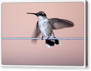 Hummingbird On A Wire Canvas Print by Wind Home Photography