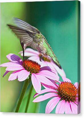 Hummingbird On Coneflower Canvas Print by Susi Stroud