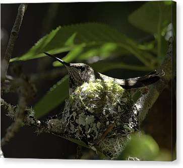 Canvas Print featuring the photograph Hummingbird On Nest by Betty Depee