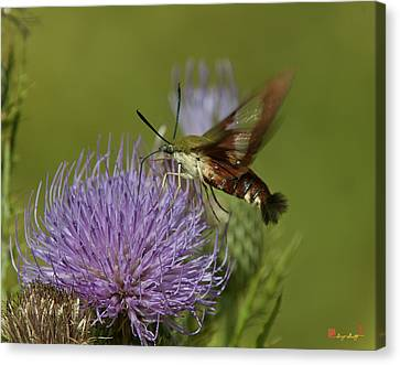 Hummingbird Or Clearwing Moth Din178 Canvas Print by Gerry Gantt
