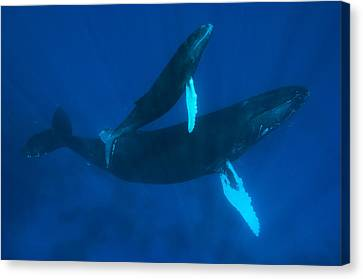 Humpback Whale, Megaptera Novaeangliae Canvas Print by Mauricio Handler