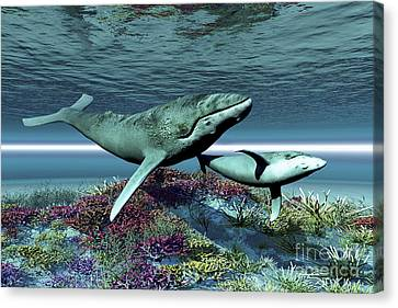 Humpback Whale Mother And Calf Swim Canvas Print by Corey Ford