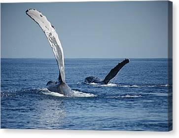 Whale Canvas Print - Humpback Whale Pectoral Slap Maui by Flip Nicklin