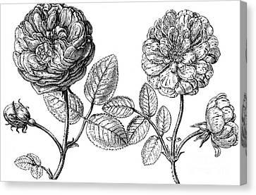 Hundred-leafed Rose Canvas Print by Granger
