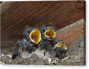 Hungry Cute Little Baby Birds  Www.pictat.ro Canvas Print by Preda Bianca Angelica