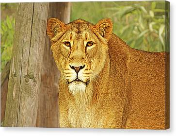 Hungry Eyes Canvas Print by Michael Ambrose
