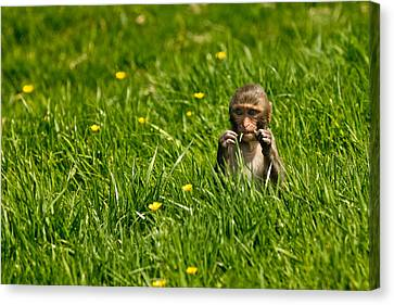 Canvas Print featuring the photograph Hungry Monkey by Justin Albrecht