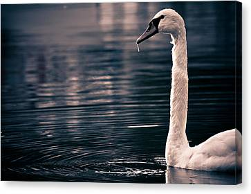 Canvas Print featuring the photograph Hungry Swan by Justin Albrecht