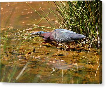 Hunting Green Heron - C9822b Canvas Print by Paul Lyndon Phillips