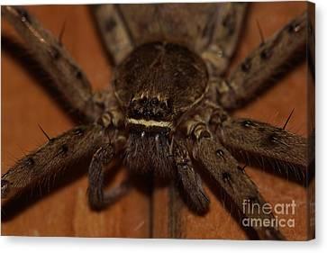 Huntsman Spider Up Close Canvas Print by Lynda Dawson-Youngclaus