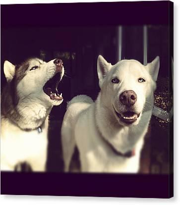 Husky Canvas Print - Husky Dogs by Photography by Brandon Shepherd