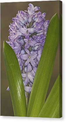 Hyacinth In Full Bloom Canvas Print
