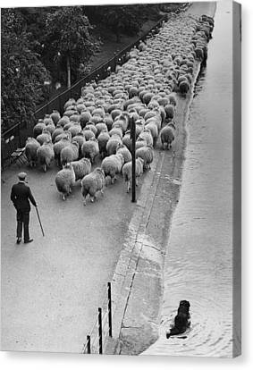 Hyde Park Sheep Canvas Print