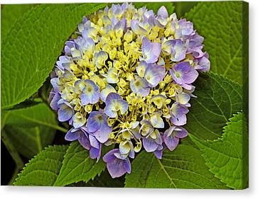 Hydrangea In Frame Canvas Print by Larry Bishop